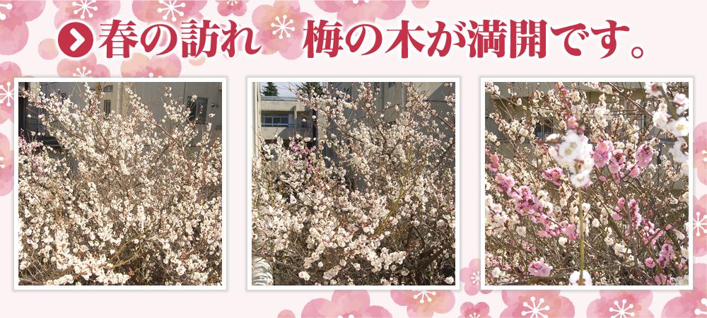 春の訪れ 梅の木 満開