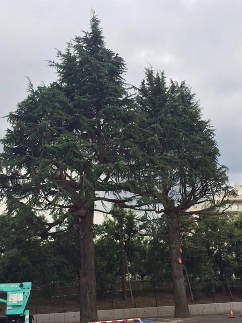 ヒマラヤ杉20171001