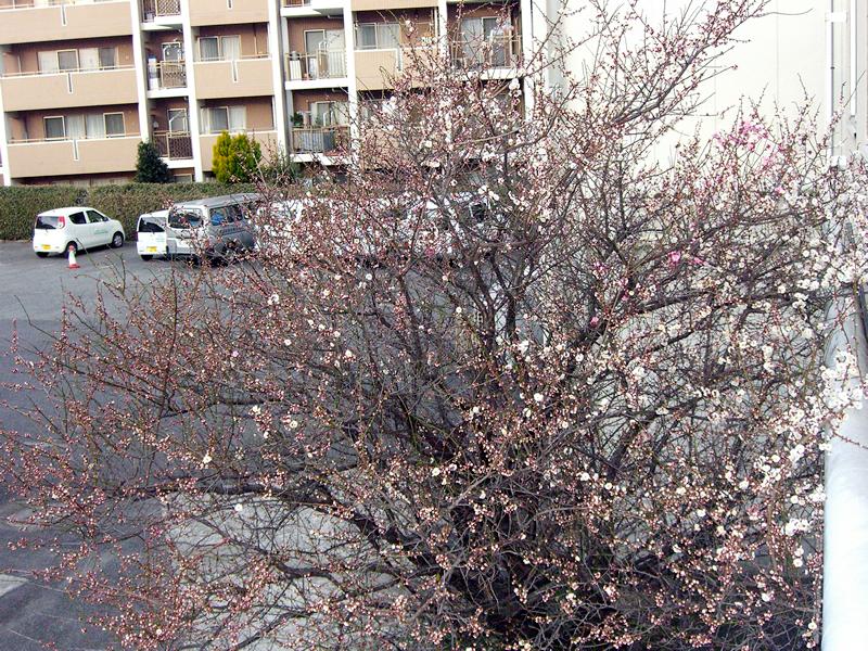 梅の木が三分咲き