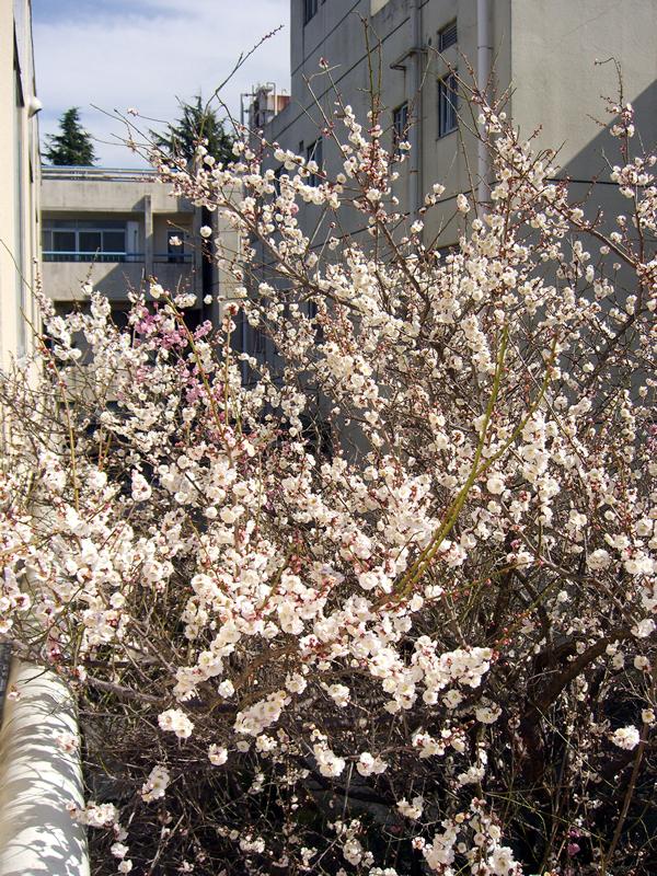 春の訪れ 梅の木が満開