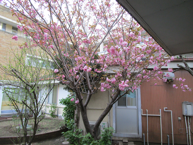 中庭の八重桜が満開